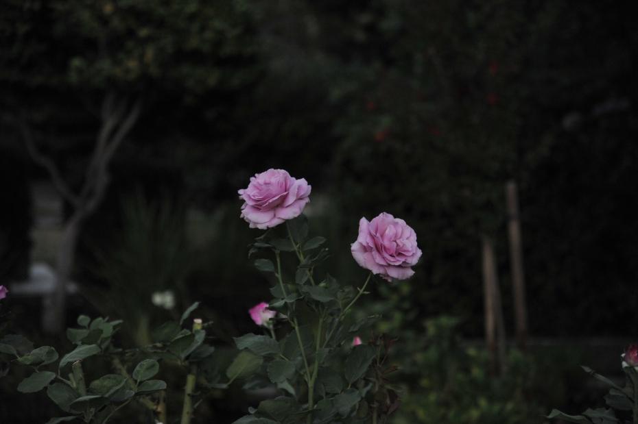 purple roses at McKinley Park
