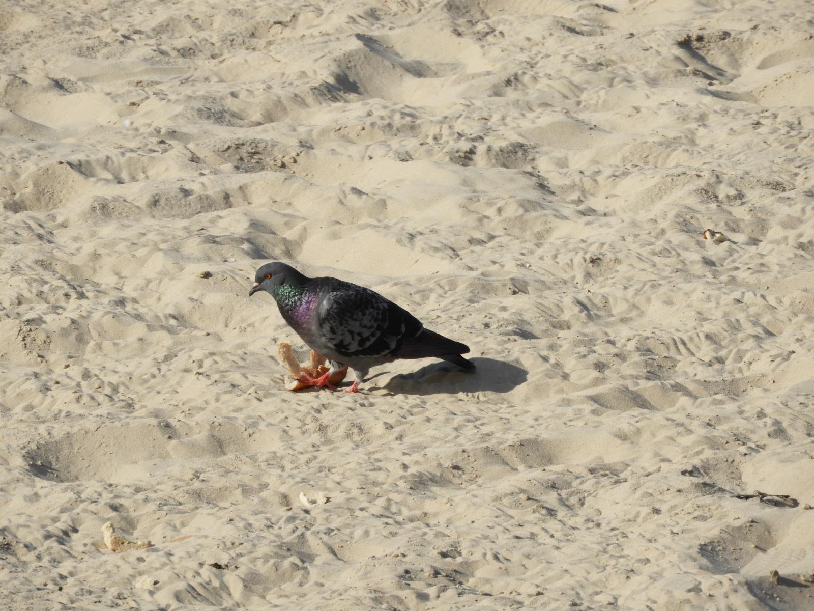 pigeon on tel aviv beach