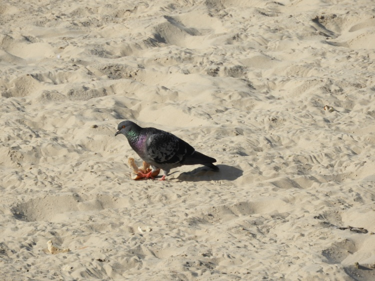 pigeon on tel aviv beach